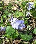 Ruhland, Grenzstr. 3, Hain-Veilchen im Garten, blühende Pflanze, Frühling, 04.jpg