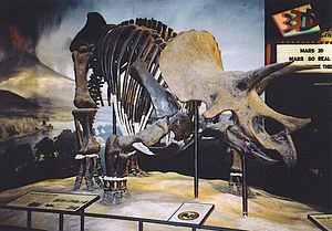 "Science Museum of Minnesota - The Triceratops, a composite mount of two animals nicknamed ""Fafnir"""