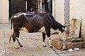 Sacred cow in Ahmedabad.jpg