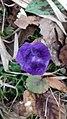 Saffron - Crocus vernus 51.jpg