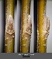 Salix alba sl5.jpg
