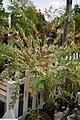 Salix integra Hakuro Nishiki 3zz.jpg