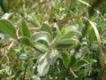 Salix repens ssp dunensis.jpeg