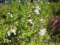 Salvia namaensis 1c.JPG