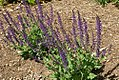 Salvia nemorosa Mainacht 1zz.jpg