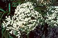 Sambucus nigra ssp canadensis 1208059.jpg