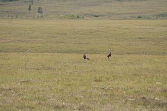 Marshall, Alaska - Sand Hill Cranes, Marshall, AK
