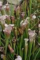 Sarracenia leucophylla Tarnok 8zz.jpg