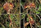 Satanic leaf-tailed gecko (Uroplatus phantasticus) Ranomafana composite.jpg