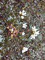 Saxifraga granulata sl23.jpg