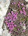 Saxifraga oppositifolia 3 RF.jpg