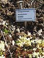 Saxifrage épineux 1937.jpg