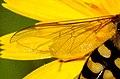 Scaeva.selenitica.wing.detail.jpg