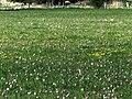 Schachblumen und Kiebitzeier auf dem Junkernfeld.jpg