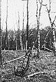 Schade, hogere planten, zwammen, berk, berkenboomzwam, Bestanddeelnr 193-0807.jpg