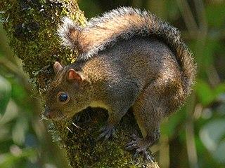 Deppes squirrel