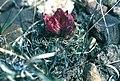 Sclerocactus wetlandicus ssp ilseae fh 0700 UT B.jpg