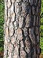Scots Pine bark - geograph.org.uk - 736507.jpg