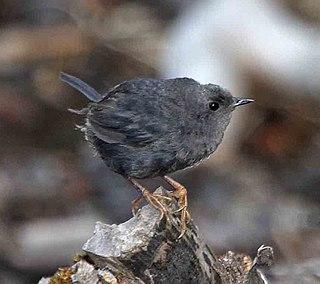 <i>Scytalopus</i> genus of birds