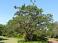 Searsia chirindensis, habitus, a, Pretoria NBT.jpg