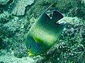 Semicircle angelfish (Pomacanthus semicirculatus) (28822083567).jpg