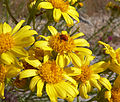 Senecio flaccidus var monoensis 7.jpg