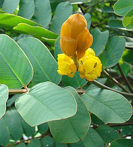 Senna reticulata, flower of the Swamp Senna (9336852822).jpg