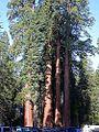 Sequoia tree.jpg