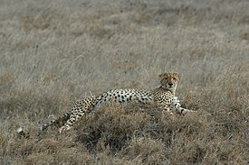 A Cheetah in Serengeti National Park, Tanzania