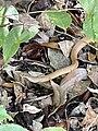 Serpent Sakatia.jpg