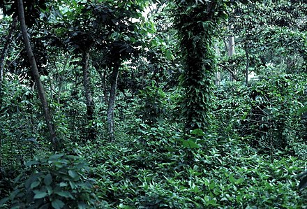 Coffee plants under a canopy of trees.