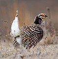 Sharp-Tailed Grouse (26089894256) (cropped) cropped.jpg
