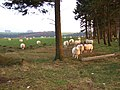 Sheep in field - geograph.org.uk - 683293.jpg