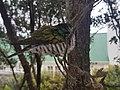 Shining cuckoo on branch2.jpg