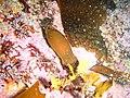 Shy shark egg case at Castle Rocks P7260850.JPG