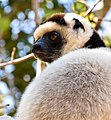Sifaka, Madagascar (21782313225).jpg