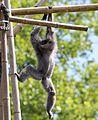Silbergibbon Hylobates moloch Tierpark Hellabrunn-2.jpg
