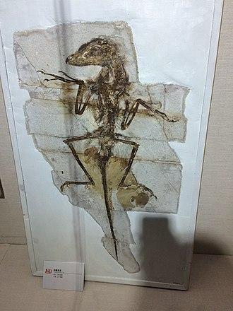 "Sinornithosaurus - NGMC 91, nicknamed ""Dave"", at the Geological Museum of China."