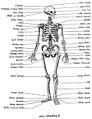 Skeleton IN ASSYRIAN SYRIAC ܬܓܪܘܡܬܐ ܕܢܫܐ.jpg