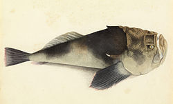 Sketchbook of fishes - 26. Stargazer - William Buelow Gould, c1832.jpg