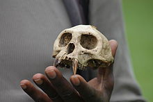 A hand holding the skull of a Ugandan red colobus showing large canine teeth