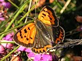 Small Copper butterfly - geograph.org.uk - 661910.jpg