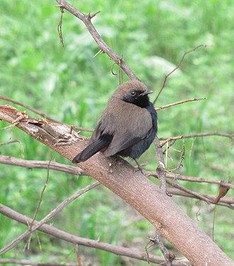 Abubshahar Wildlife Sanctuary - Image: Small black bird