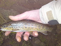 Small brown trout river worth.jpg