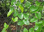 Smilax rotundifolia 6.JPG