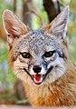 Smiling Fox (40560757921).jpg