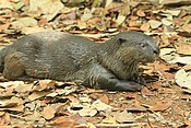 Smooth cotted otter (1).jpg