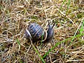 Snail (Helix aspersa) at Gerizim - geograph.org.uk - 888458.jpg