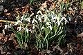 Snowdrops (Galanthus nivalis) - geograph.org.uk - 686012.jpg