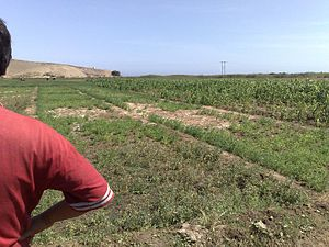 Soil salinity control - Irrigated saline land with poor crop stand